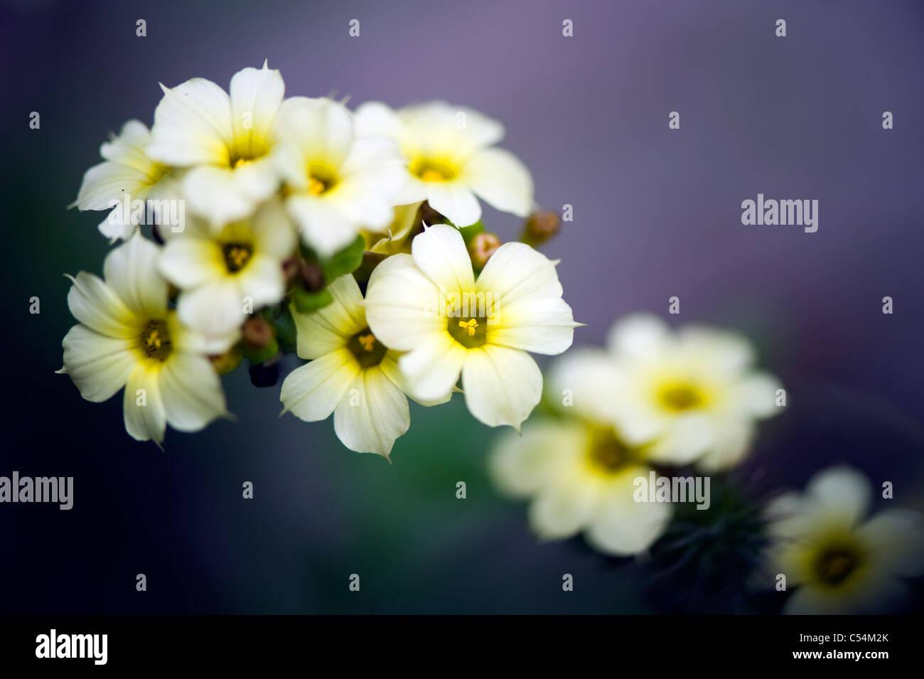 Sisyrinchium striatum 'Aunt May' - Pale yellow-eyed grass 'Aunt May' - Stock Image