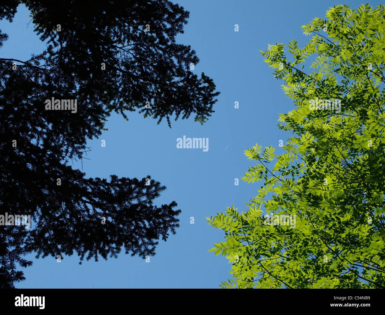 Sunlit tree leaves, la Chartreuse, France - Stock Image