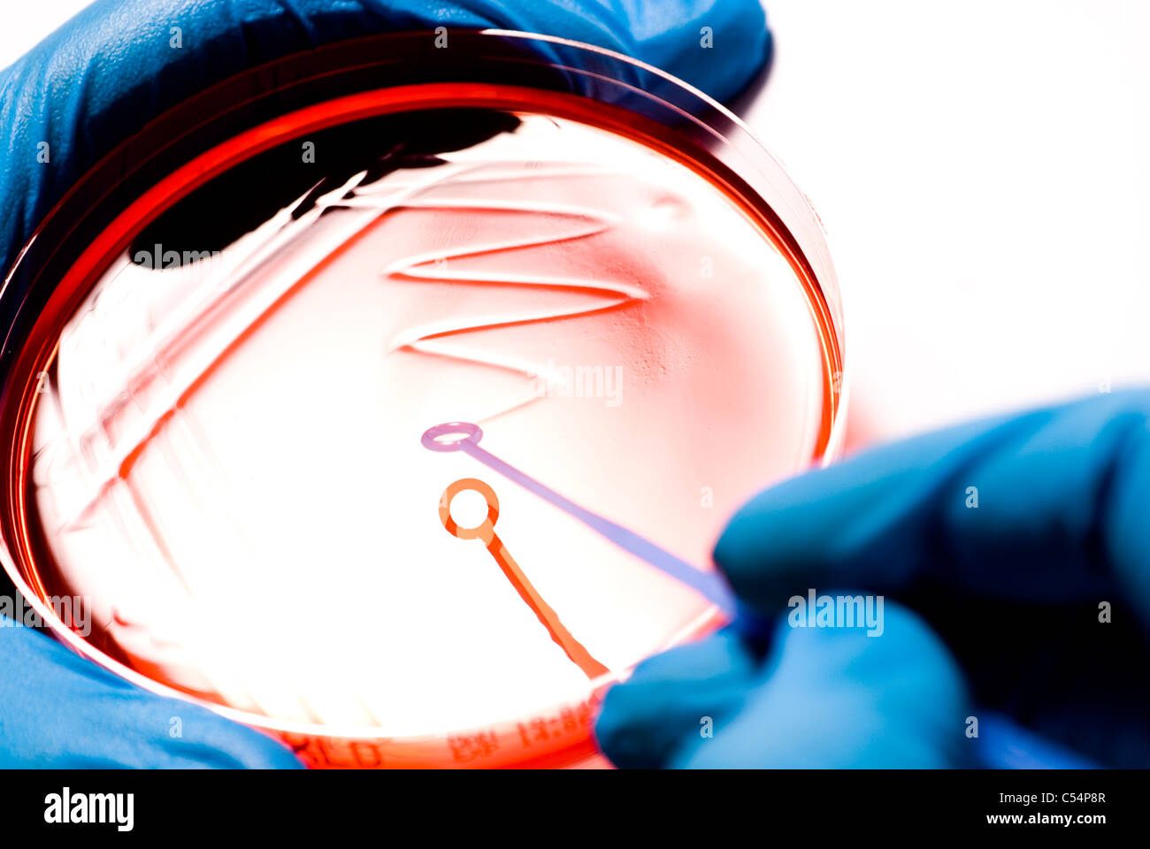 Gloved Hands Streaking A Petri Dish With Inoculation Loop