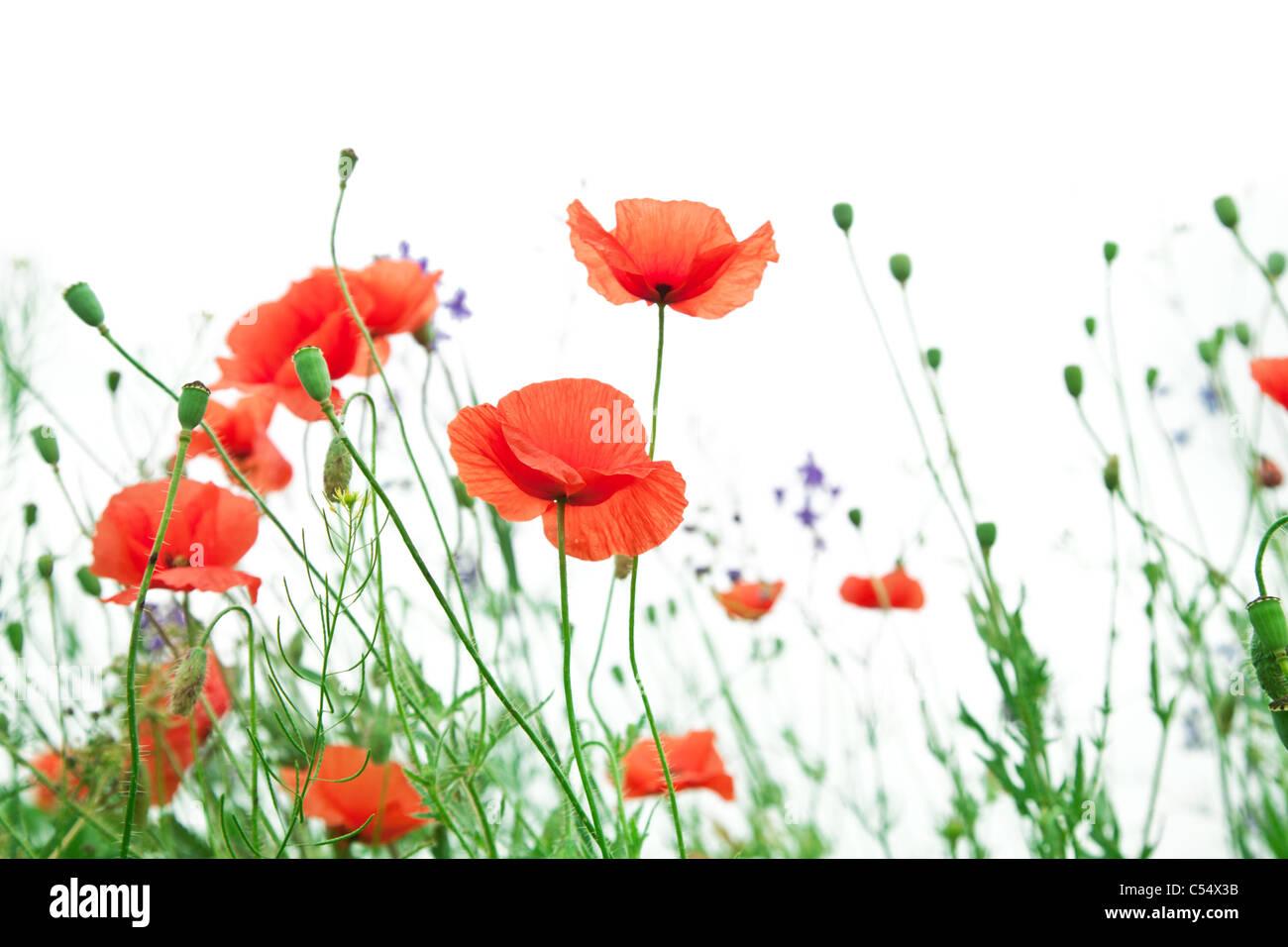 Tender poppy flowers on a white background. Stock Photo