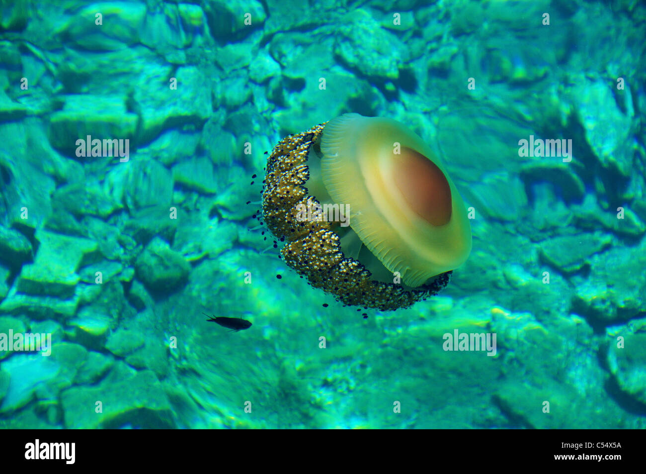 A gorgeous colored jelly fish over a stony sea bad in Mediterranean waters of Greece, accompanied by a small fish. Stock Photo