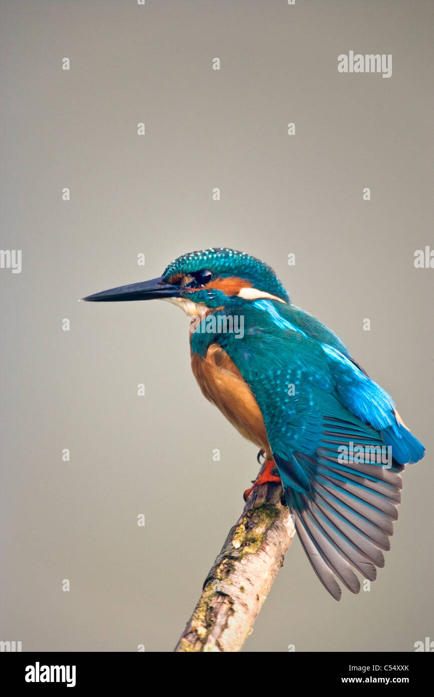 The Netherlands, Lelystad, National Park called Oostvaarders Plassen. Common Kingfisher perched on branch. ( Alcedo - Stock Image