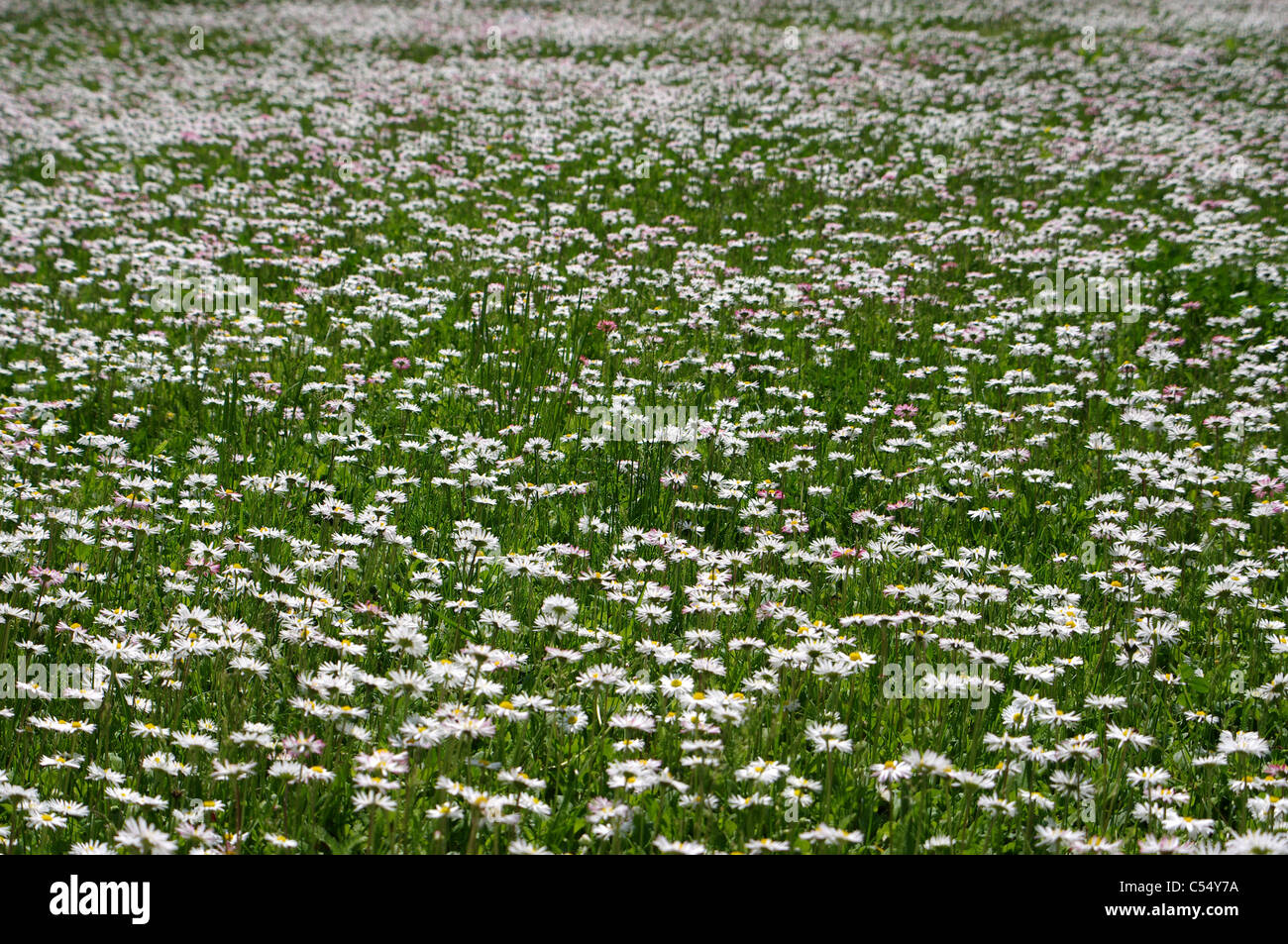 Spring meadow with daisies natsafteli. - Stock Image