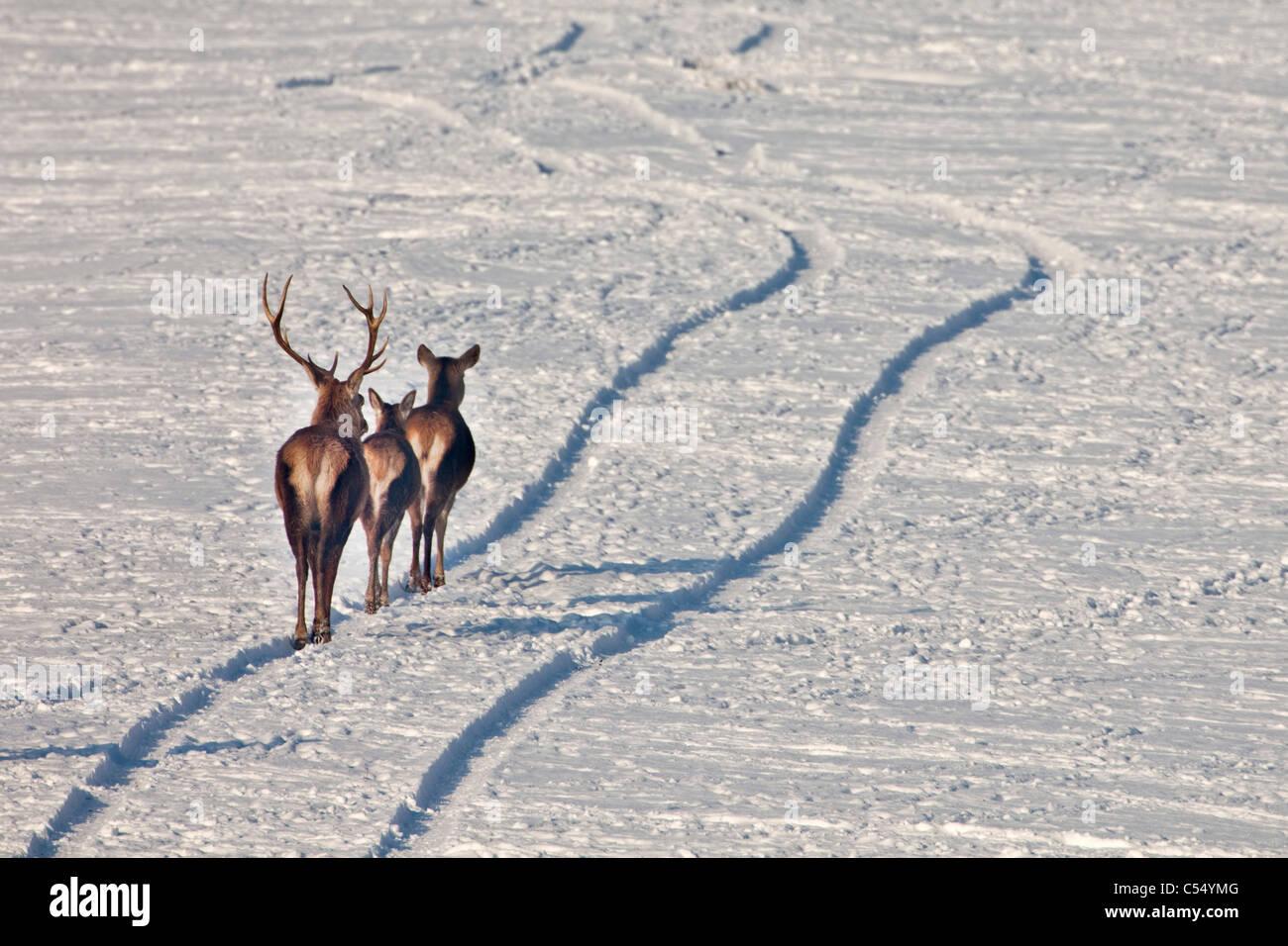The Netherlands, Lelystad. National Park called: Oostvaardersplassen. Red Deer in snow. Walking in car tracks. - Stock Image