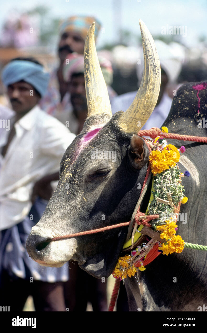 India tamil nadu state madurai decorated jallikattu bull at siravayal south india