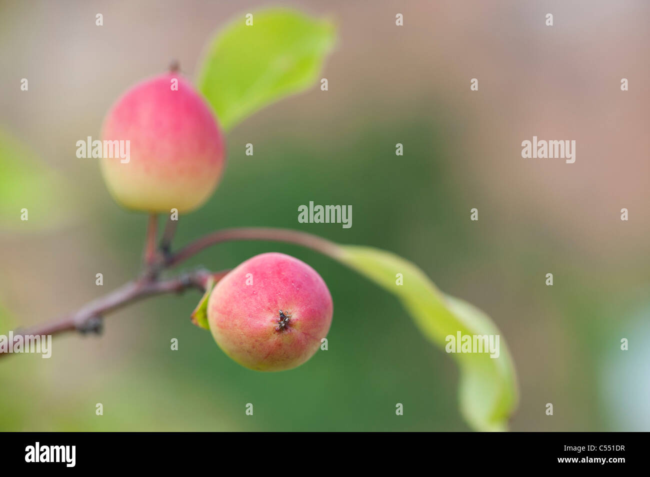 Malus 'Pink Glow' . Crab Apples on the Tree - Stock Image