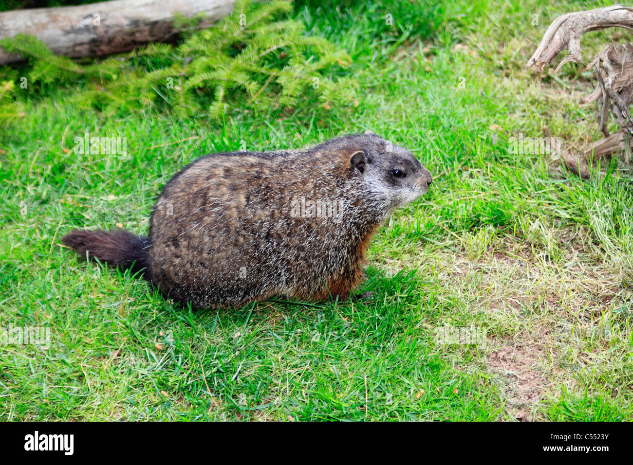 Woodchuck (Marmota monax) in a field - Stock Image