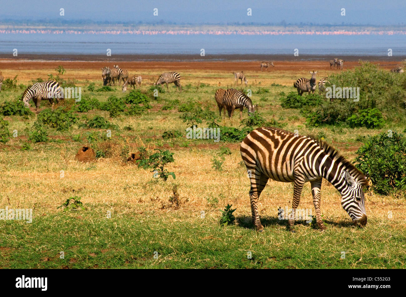 Herd of Zebras grazing in a field, Lake Manyara National Park, Tanzania Stock Photo