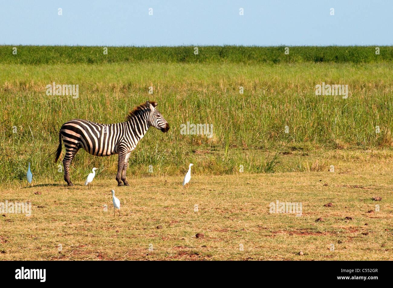 Zebra standing in a field, Lake Manyara National Park, Tanzania Stock Photo