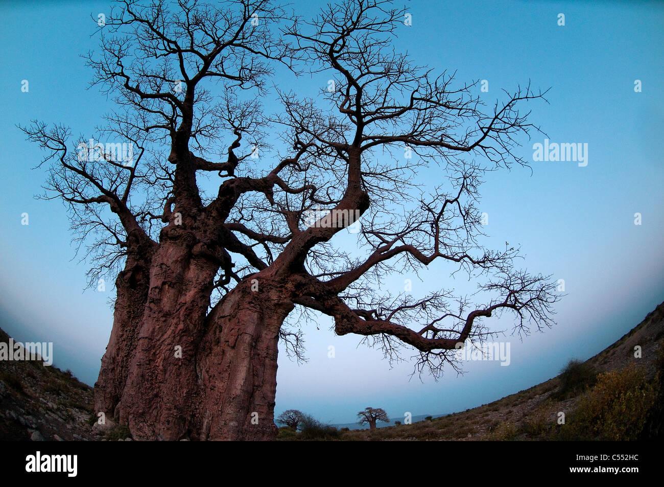 Low angle view of a baobab tree, Lake Manyara National Park, Tanzania - Stock Image