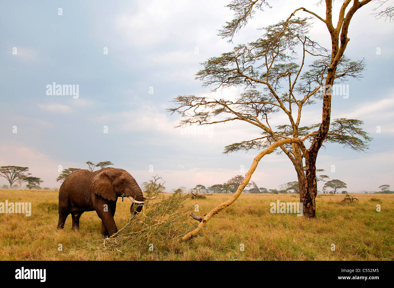 African elephant (Loxodonta africana) grazing in a forest, Serengeti National Park, Tanzania Stock Photo