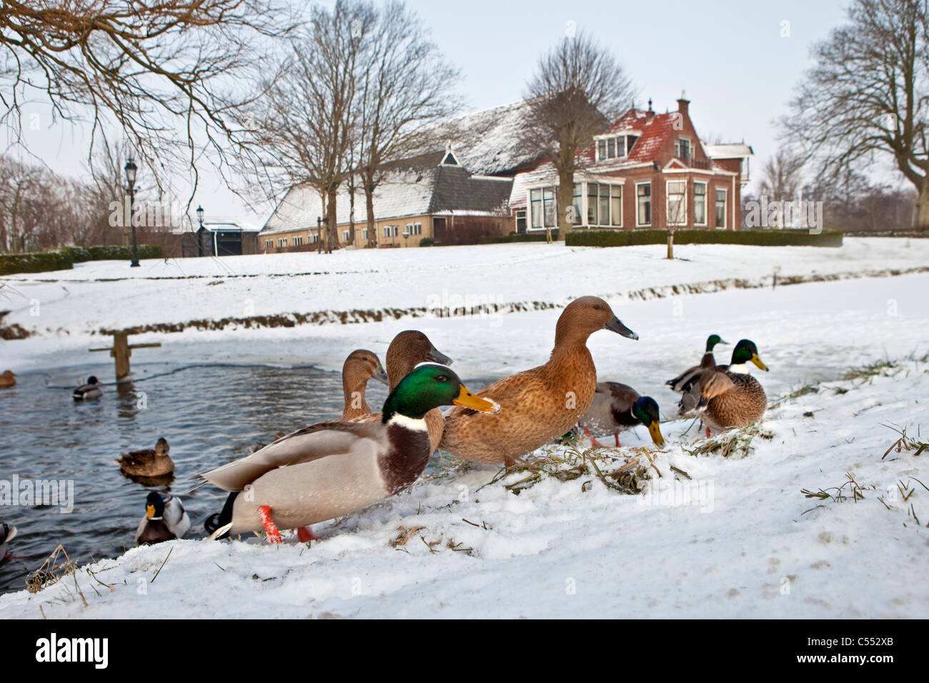 The Netherlands, Marrum, Ducks in ice-hole and on snow. Background: farm. - Stock Image