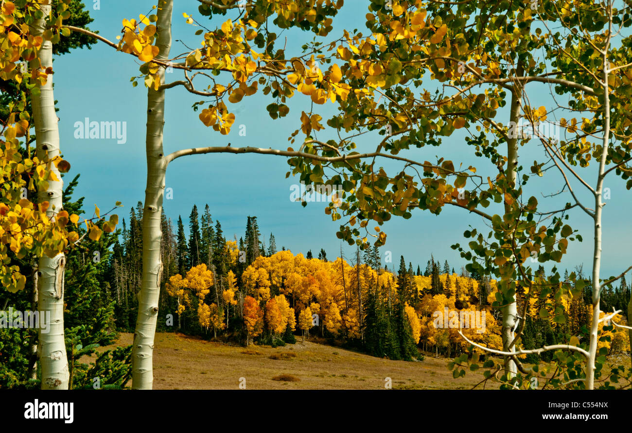 Autumn colors of Aspen trees, Cedar Breaks National Park, Utah - Stock Image