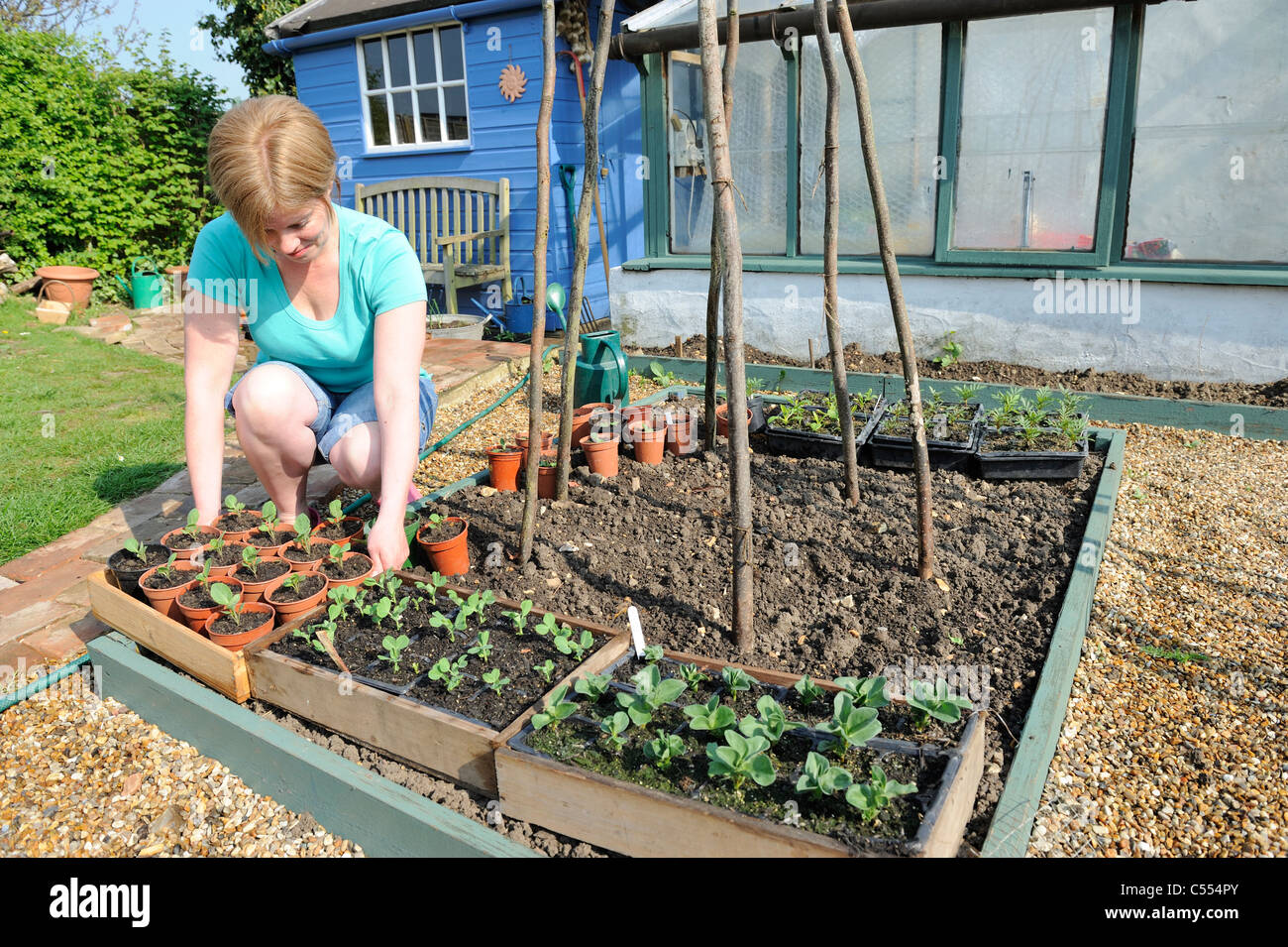 hardening off plants, woman gardener placing trays of plants outside to harden off prior to planting, Norfolk, England, - Stock Image