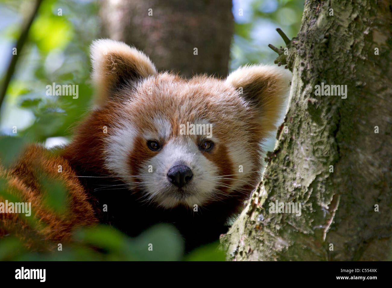 Red Panda, Ailurus fulgens rests in tree - Stock Image