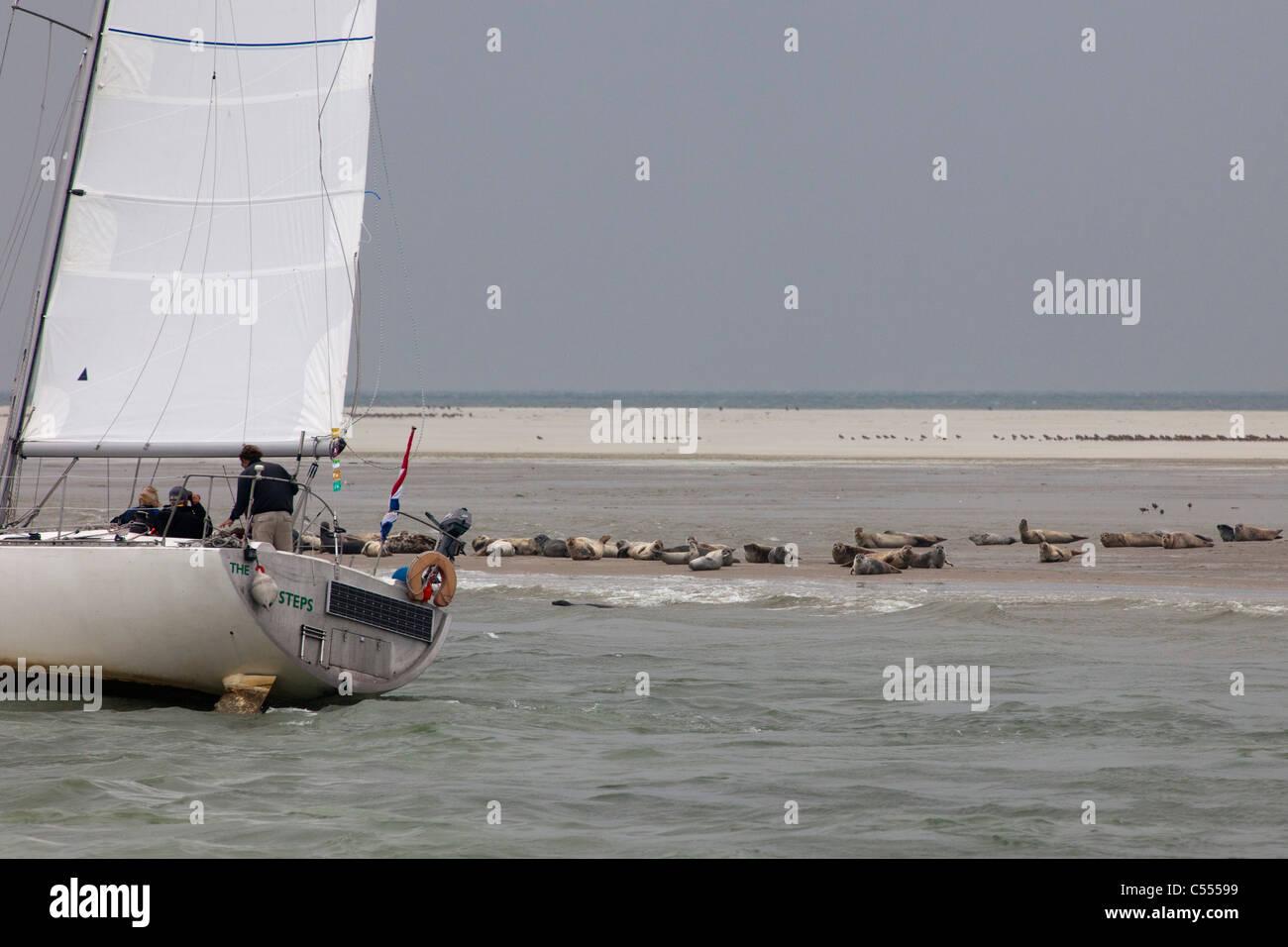 Hollum, Ameland Island, belonging to Wadden Sea Islands. Unesco World Heritage Site. Seals and passing sailing boat. - Stock Image