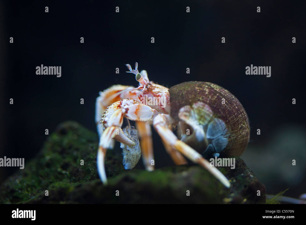 The Netherlands, Nes, Ameland Island, belonging to Wadden Sea Islands. Unesco World Heritage Site. Hermit crab in - Stock Image