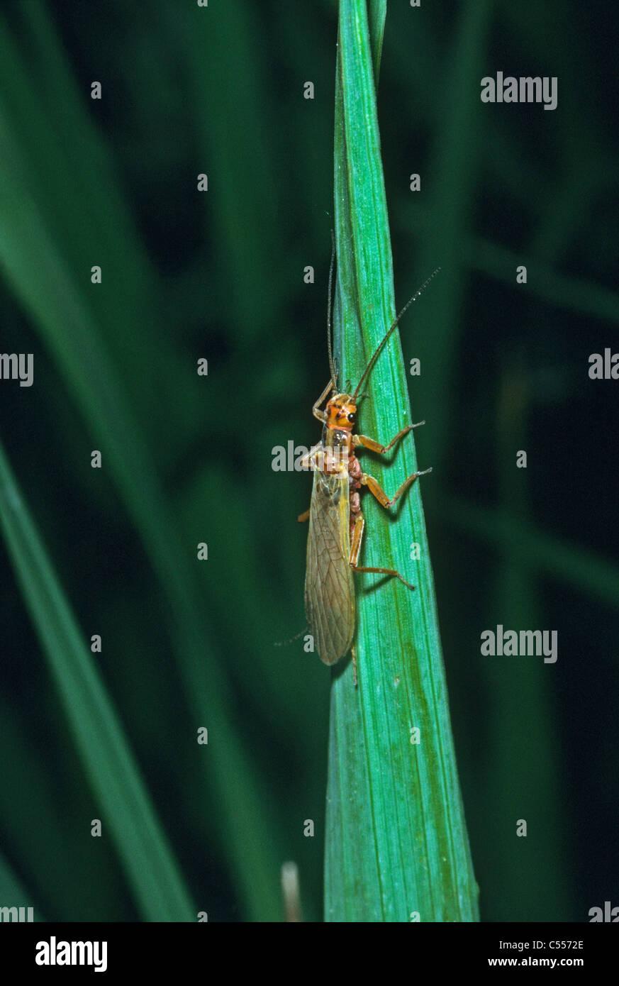 Golden Stonefly (Hesperoperla pacifica) at rest on grass blade near mountain creek, Mt. Evans Wilderness area, Colorado - Stock Image