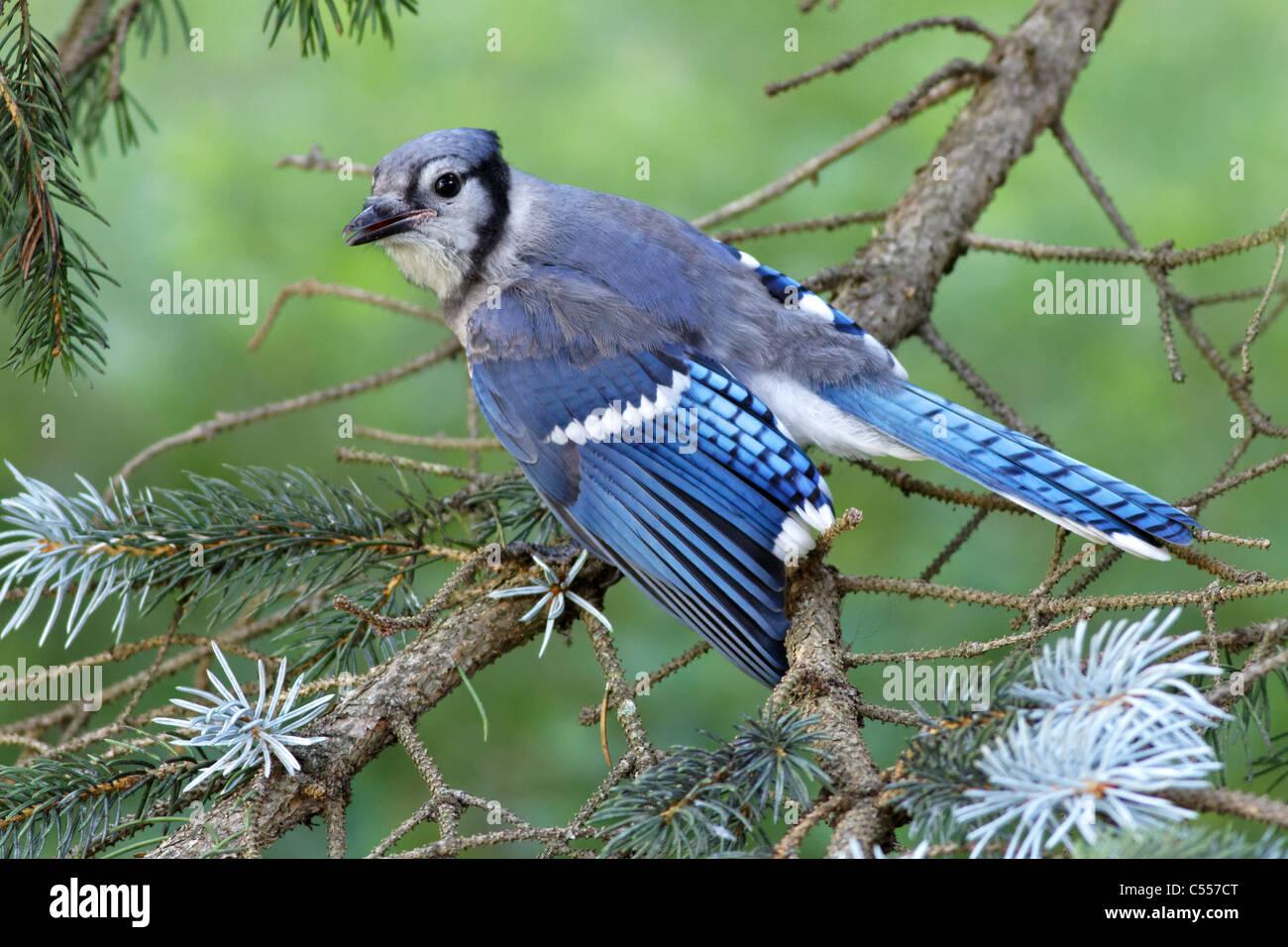 Blue Jay / Geai bleu (Cyanocitta cristata) Stock Photo