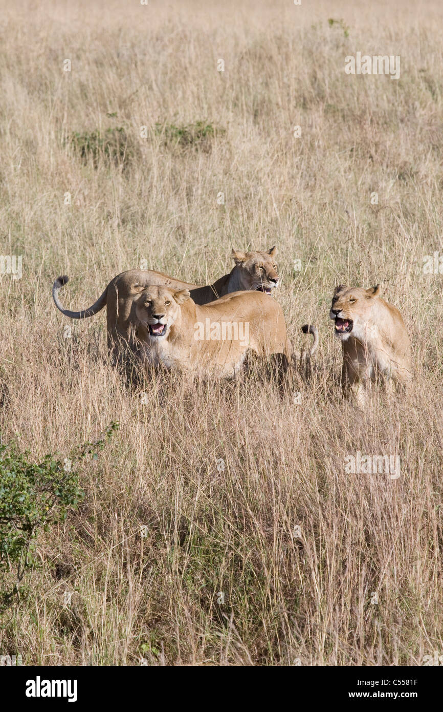 Three angry lionesses (Panthera leo) snarling at an unwanted male's advances, Masai Mara National Reserve, Kenya - Stock Image