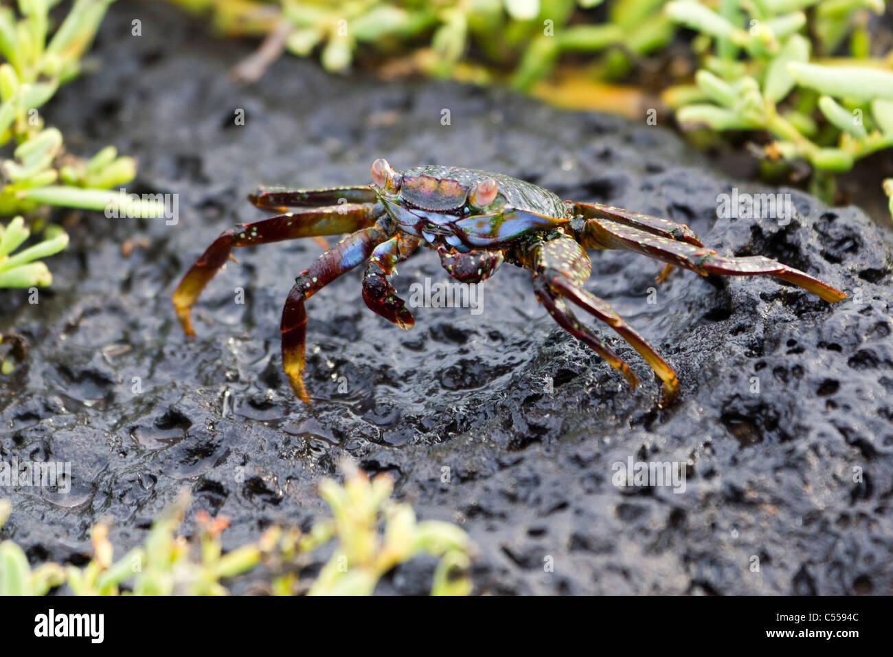 Sally Lightfoot Grapsus grapsus crab, South Plaza Island, Galapagos islands, Ecuador - Stock Image