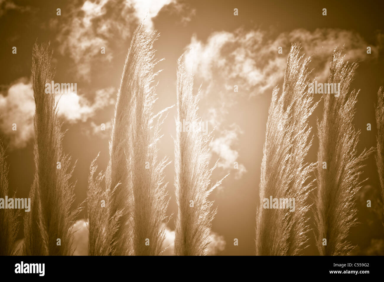 Detail of reed and sunset. Natural abstract background. Stock Photo