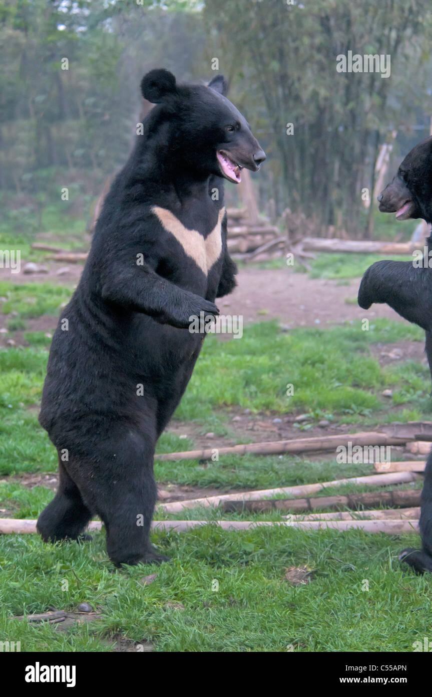 Two Asian black bears (Ursus thibetanus) fighting, Chengdu, China Stock Photo
