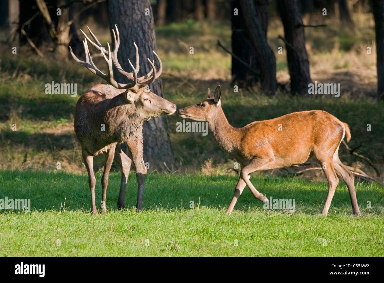 The Netherlands, Otterlo, National Park called De Hoge Veluwe. Red Deer (Cervus elaphus). - Stock Image