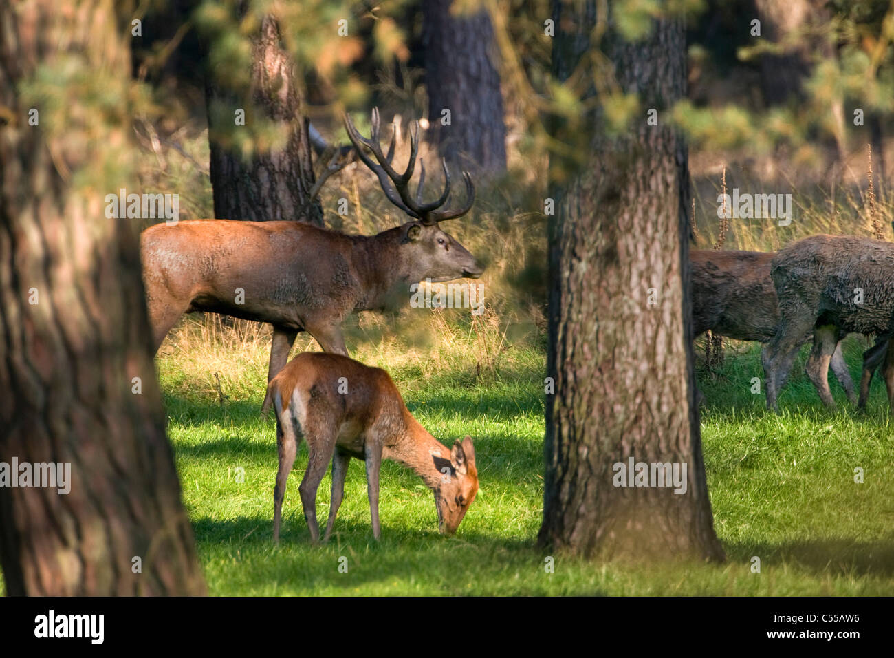 The Netherlands, Otterlo, National Park called De Hoge Veluwe. Red Deer (Cervus elaphus). - Stock Image