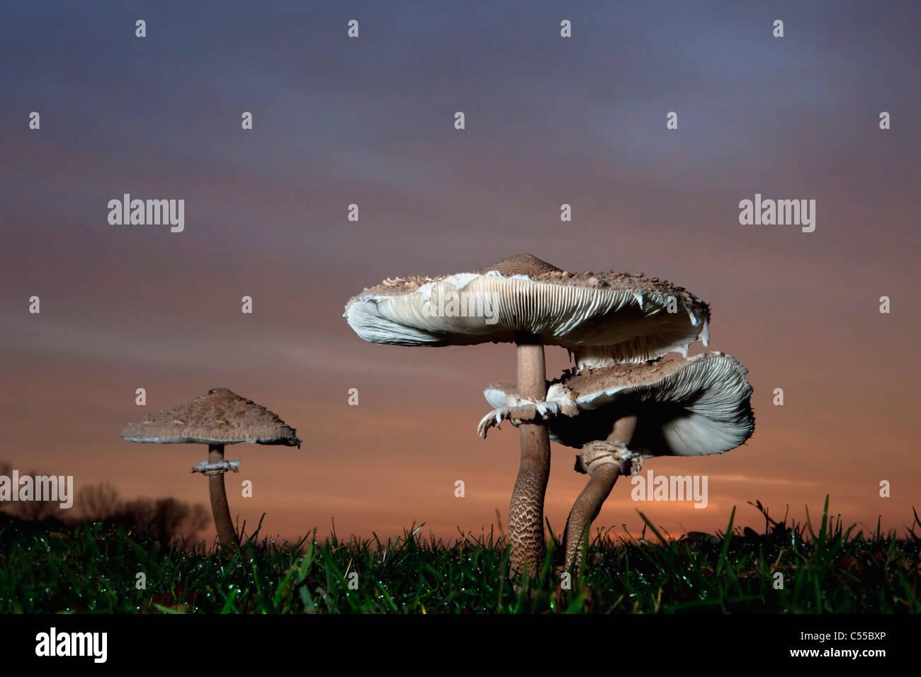 The Netherlands, Winterswijk, Autumn, Parasol Mushroom at dawn. Macrolepiota procera. - Stock Image