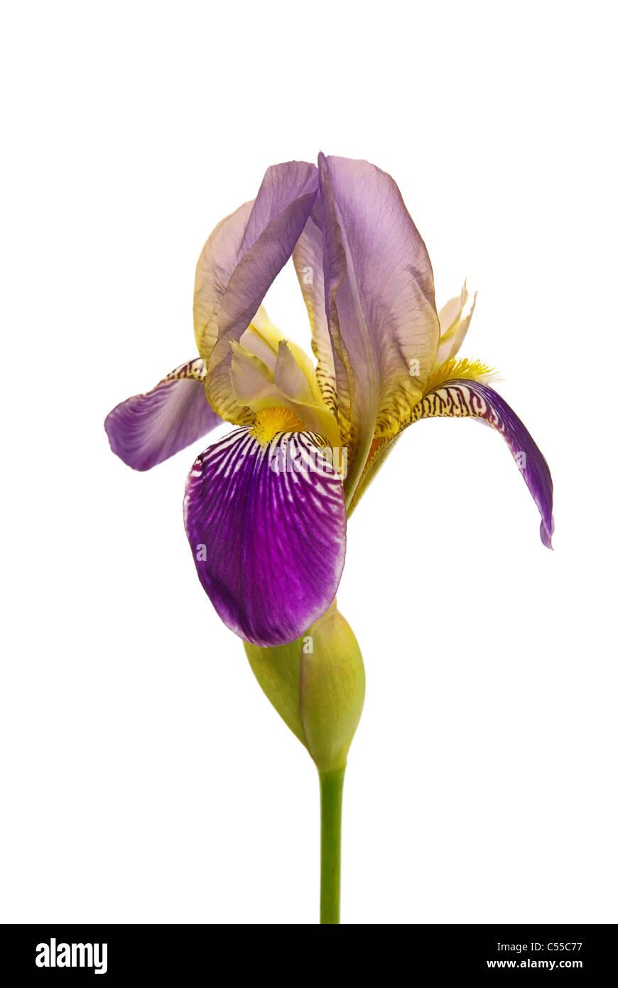 Schwertlilie freigestellt - iris isolated 02 - Stock Image