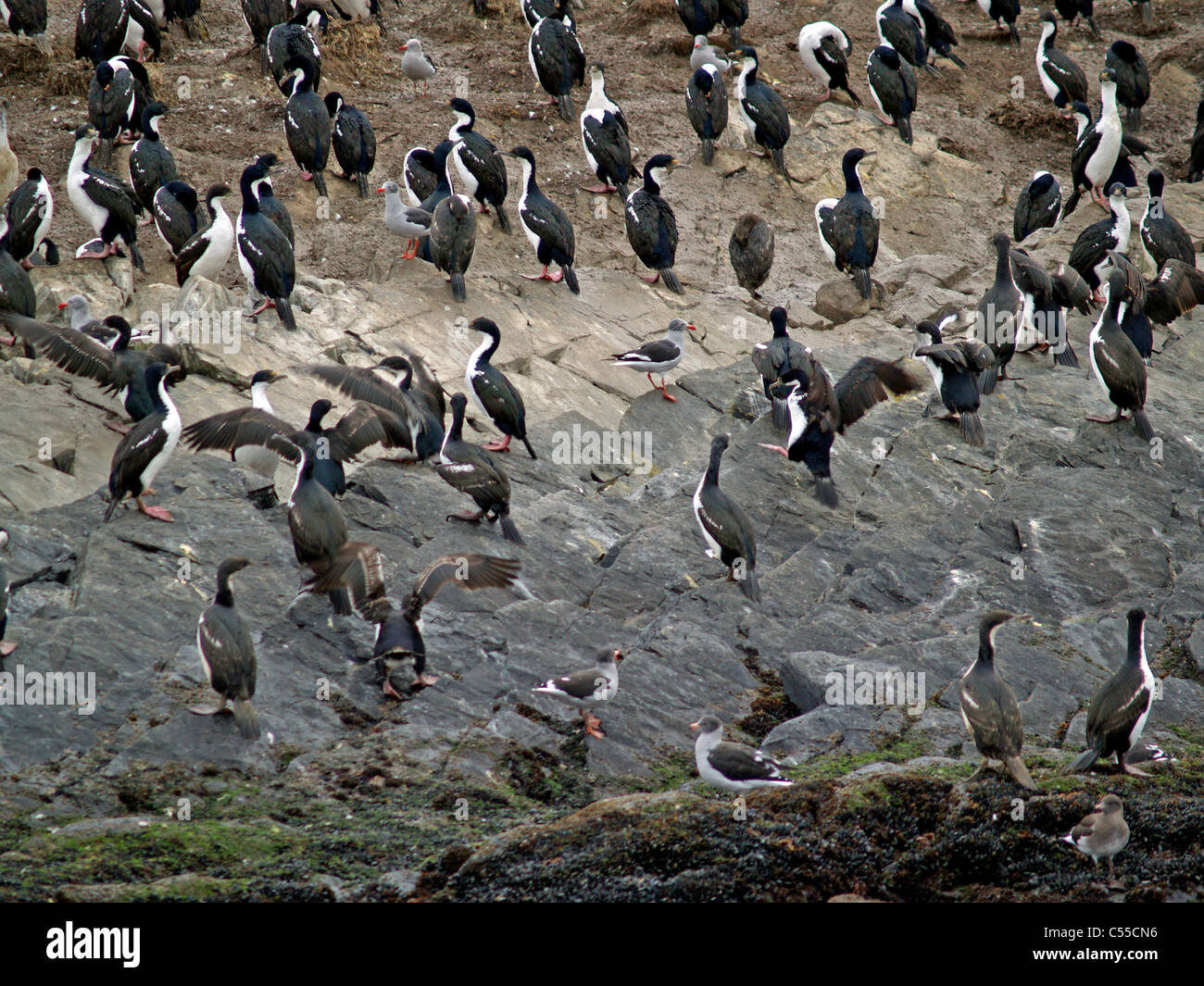 Blue-eyed or King cormorants Beagle Channel Argentina - Stock Image