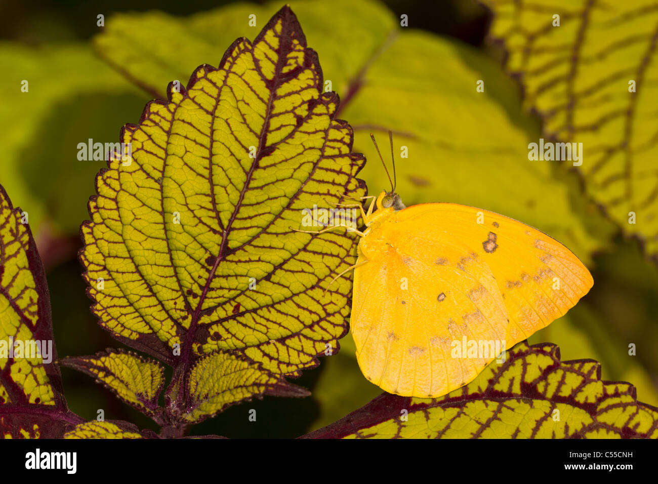 Ornage Emigrant Butterfly (Catopsilia scylla) - Stock Image