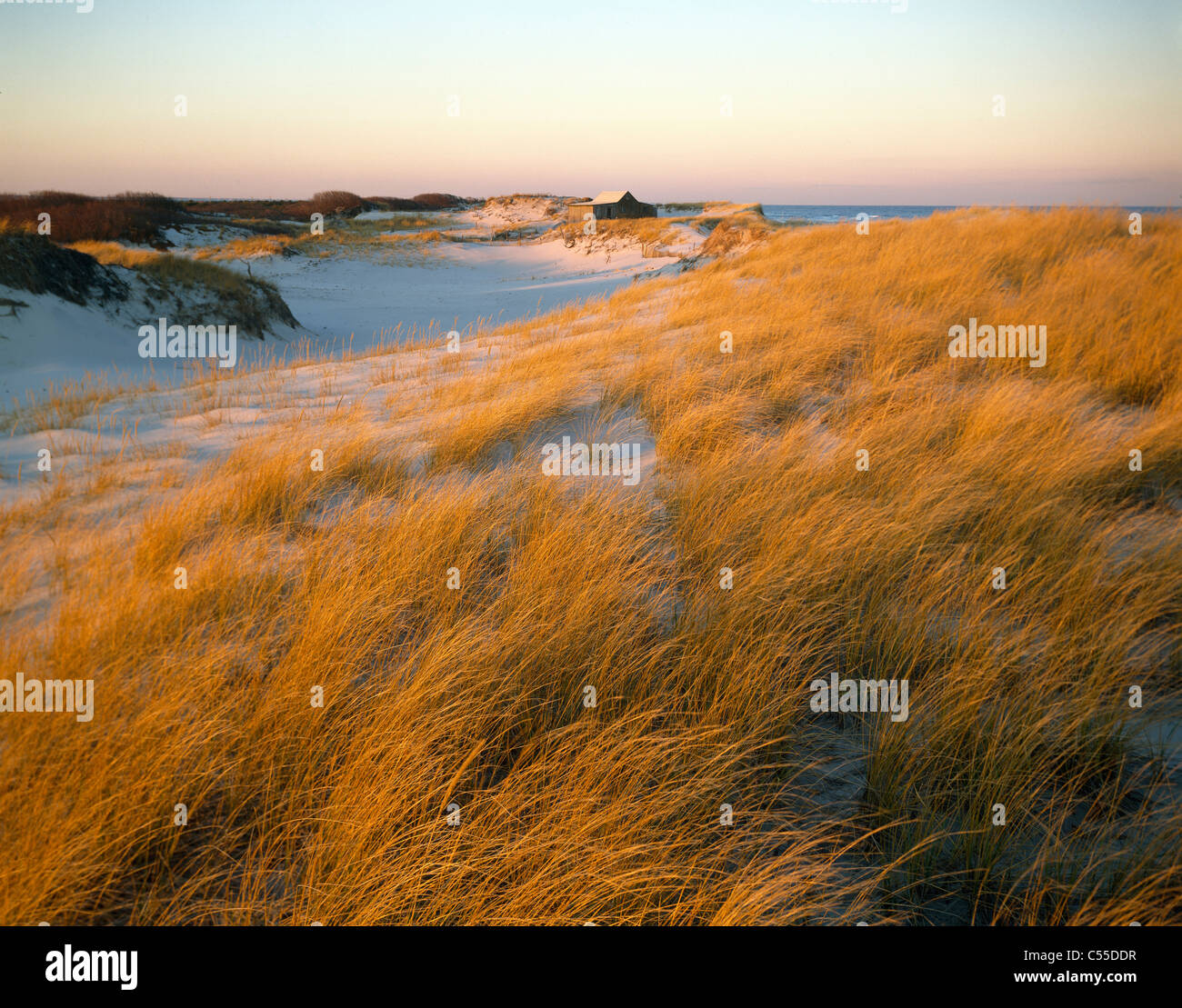 Island Beach State Park Nj: USA, New Jersey, Island Beach State Park, Yellow Marram