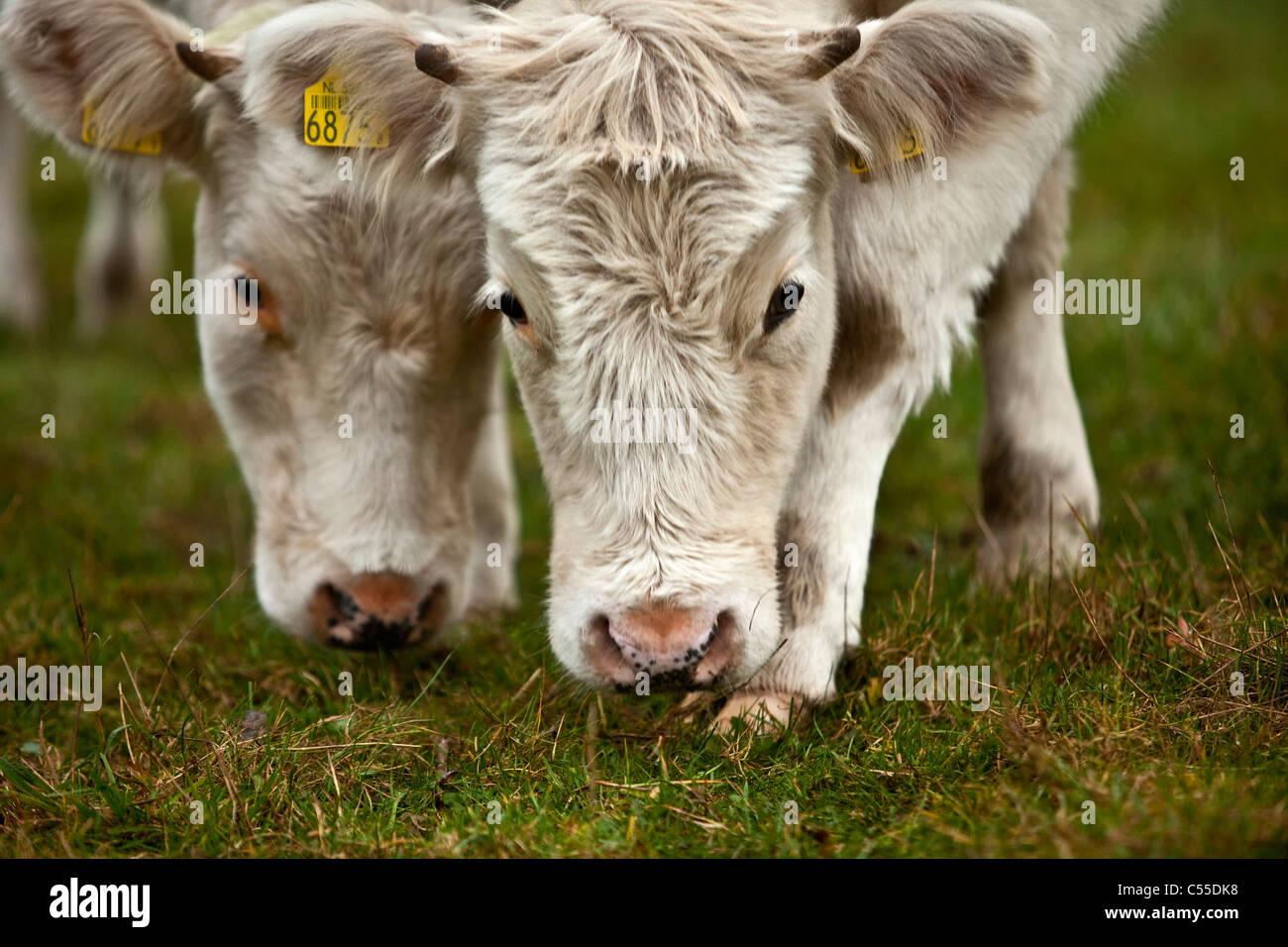 The Netherlands, Winterswijk, Cows. - Stock Image