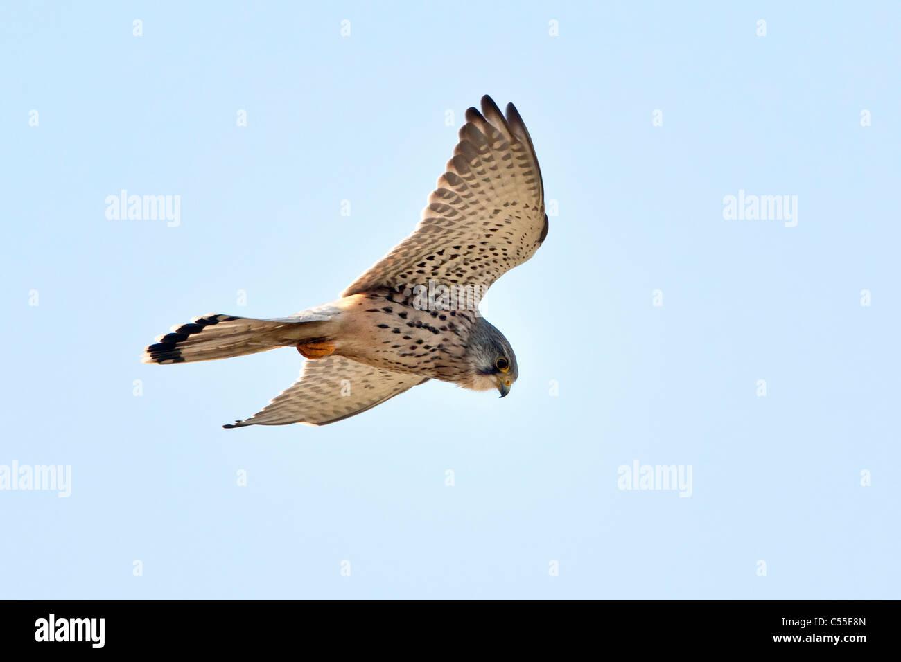 The Netherlands, Nijmegen, Common Kestrel, Falco tinnunculus. Falcon family. - Stock Image