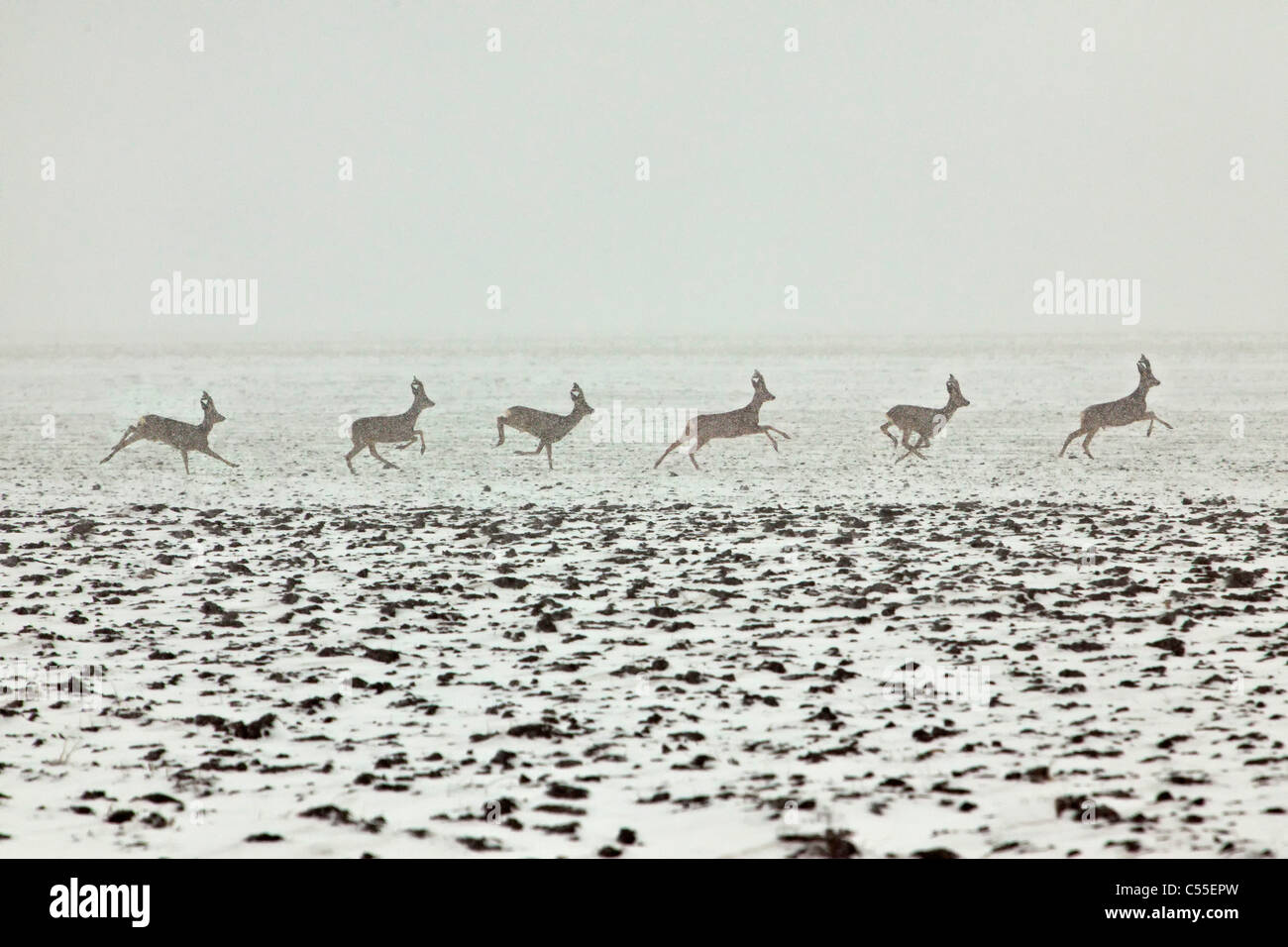 The Netherlands, near Warffum, Deer or roe. Male running in snow. Digital composition. - Stock Image