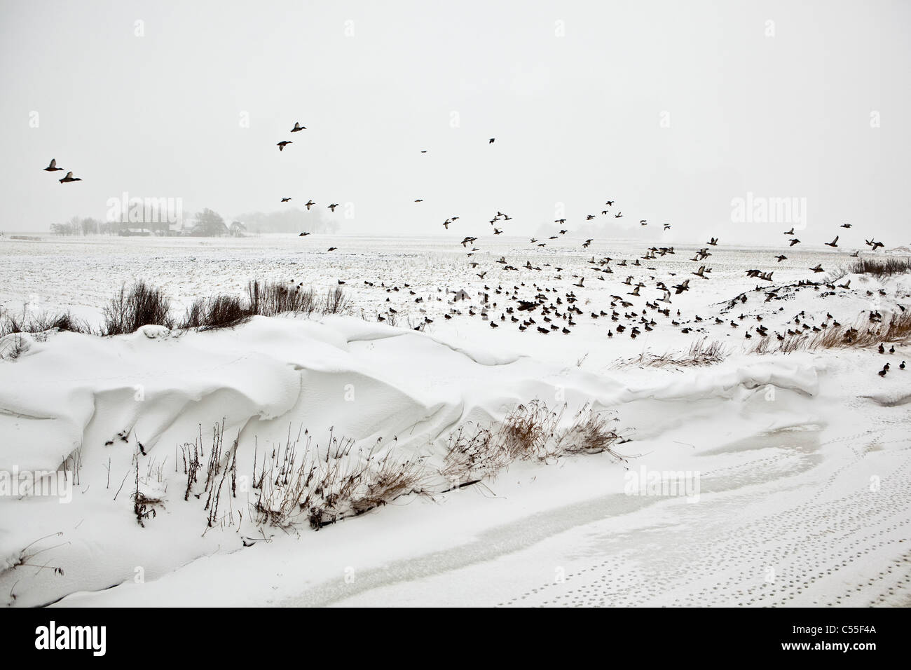 The Netherlands, Usquert, Snow in canal with farm in background. Ducks flying - Stock Image