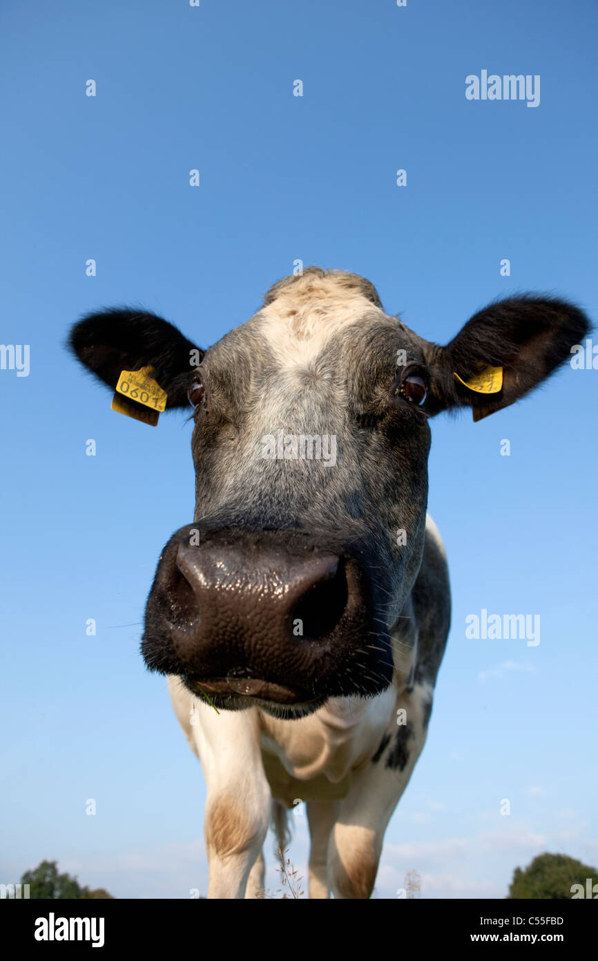 The Netherlands, Epen, Close up cow - Stock Image