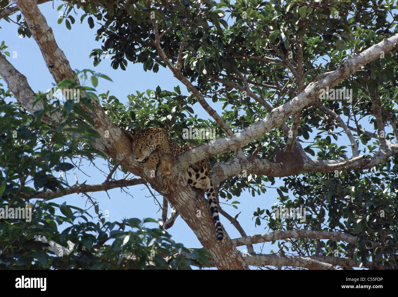 Jaguar Amazon Region Brazil - Stock Image