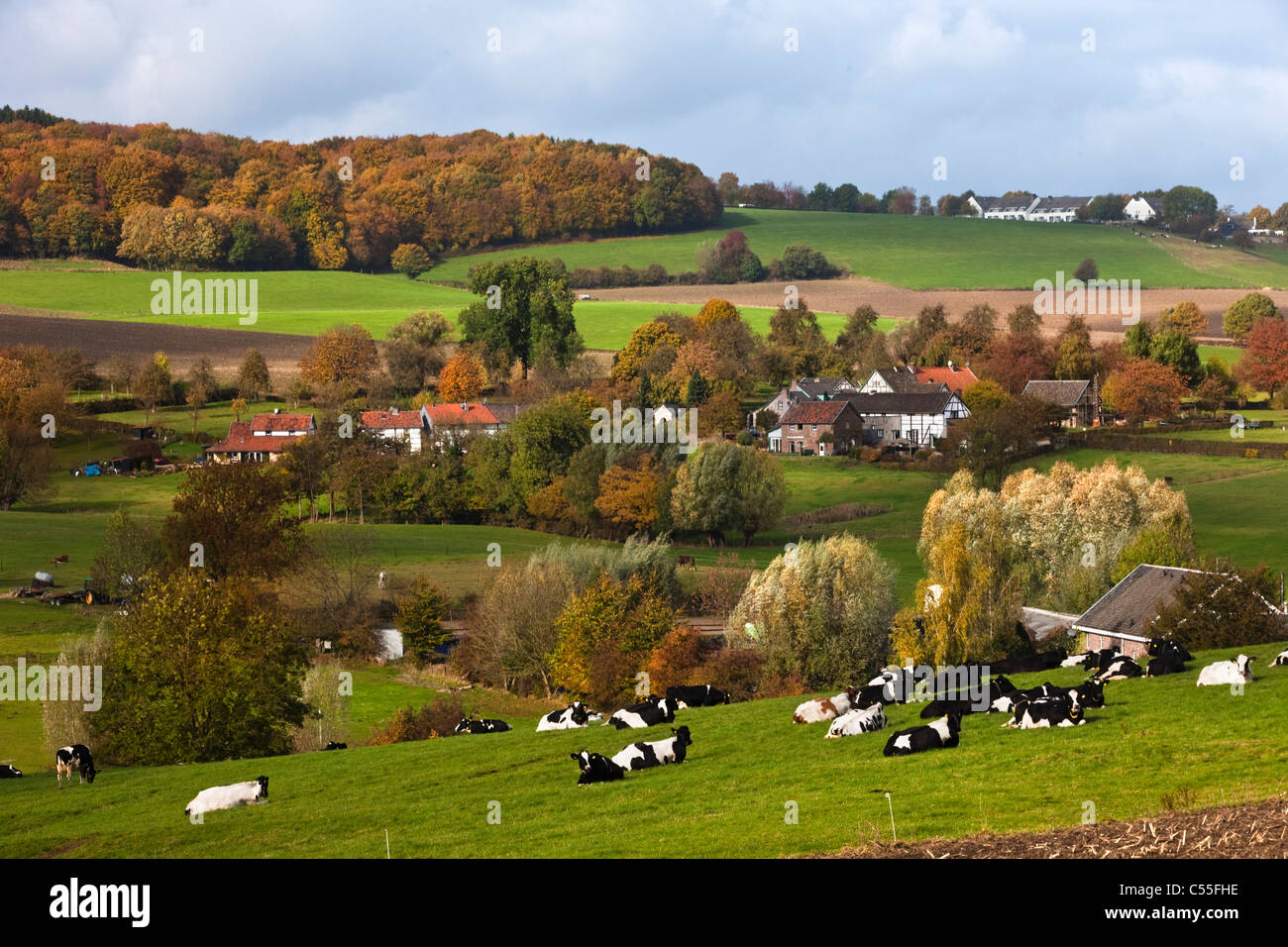 The Netherlands, Epen, Cows in front of of frame houses. - Stock Image