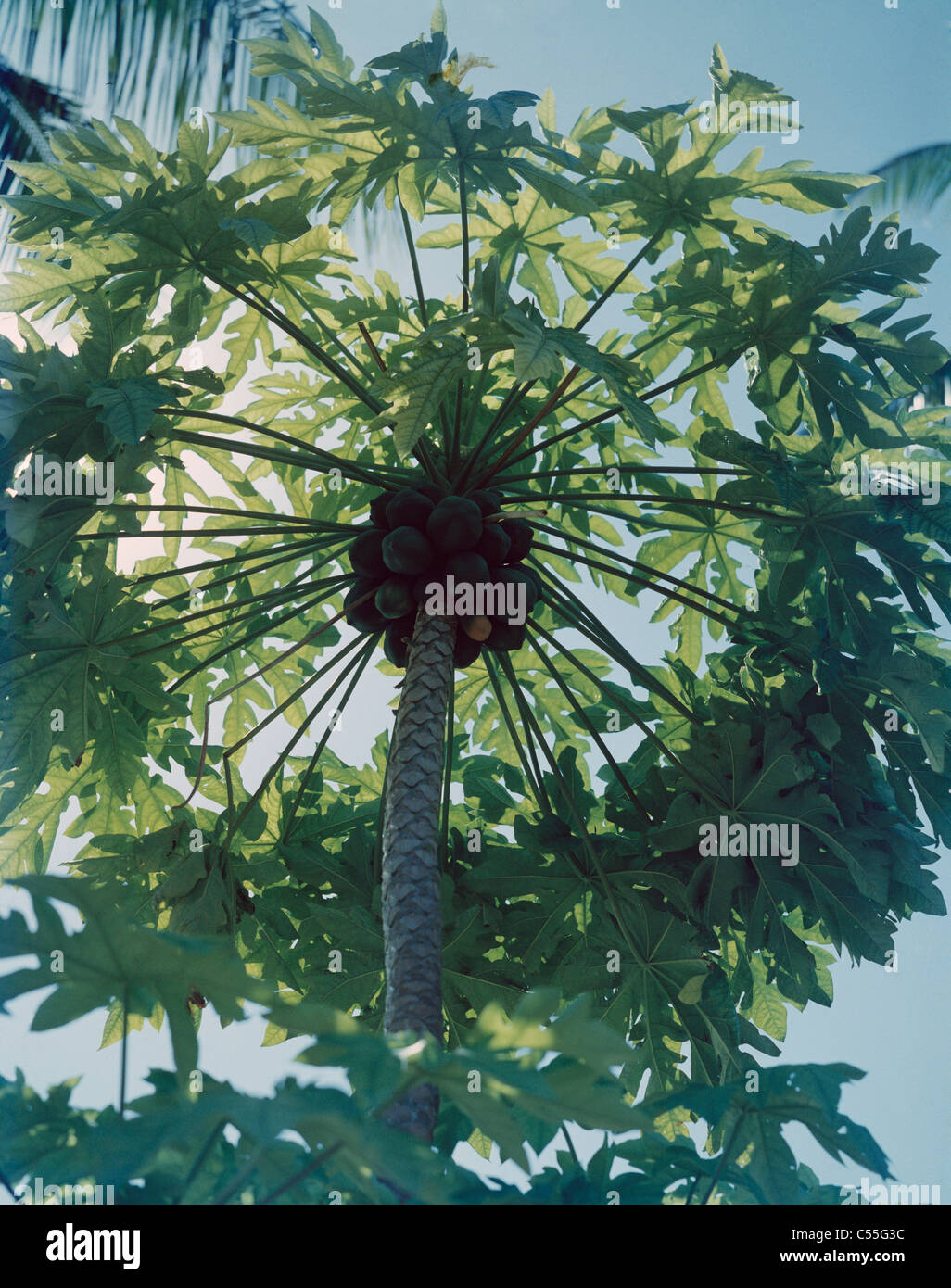 Papaya Tree Fanning Island Kiribati Polynesia - Stock Image