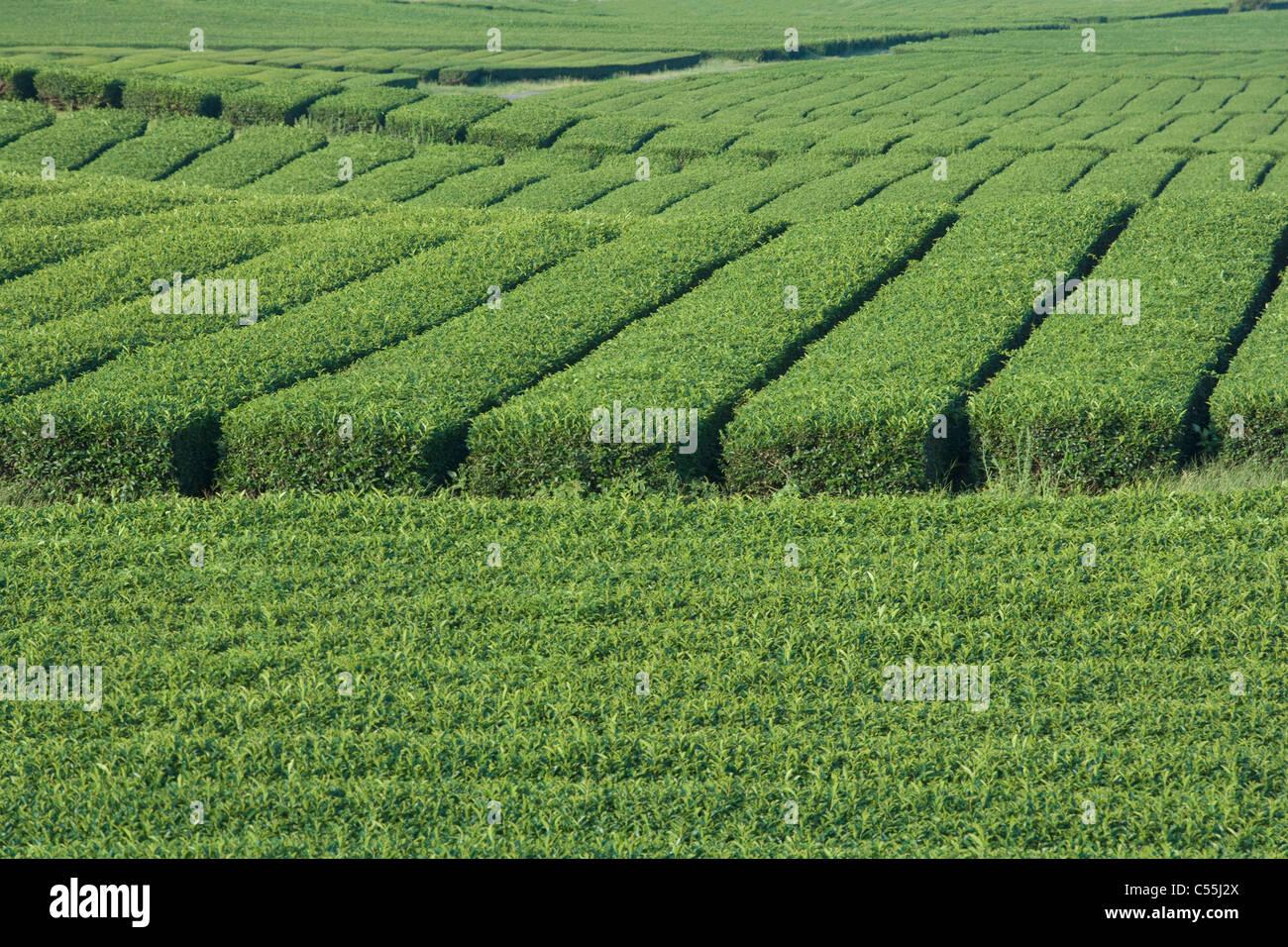 green tea field - Stock Image