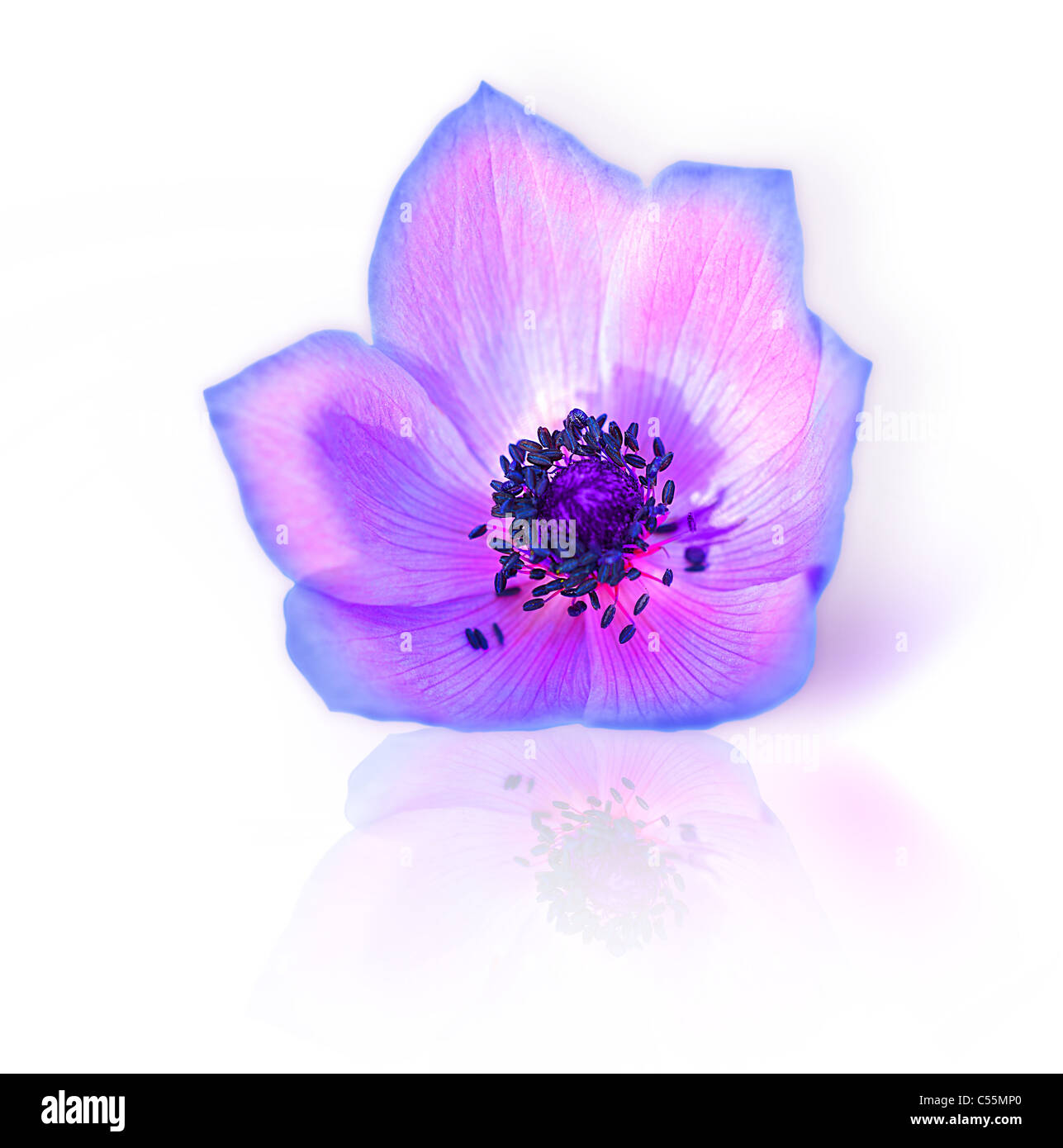 Macro of fresh spring purple wild flower head isolated on white background - Stock Image