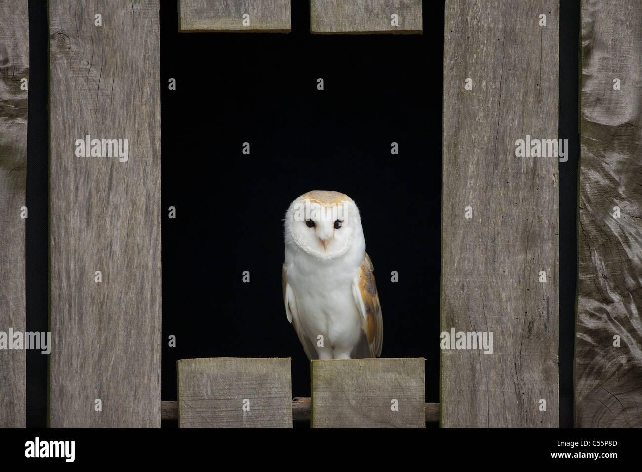 Barn owl (Tyto alba) perching on a plank, Gloucestershire, England Stock Photo