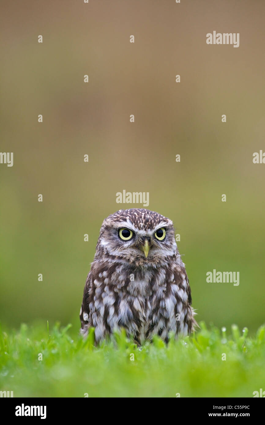 Close-up of a Little owl (Athene noctua) in a field, Gloucestershire, England Stock Photo