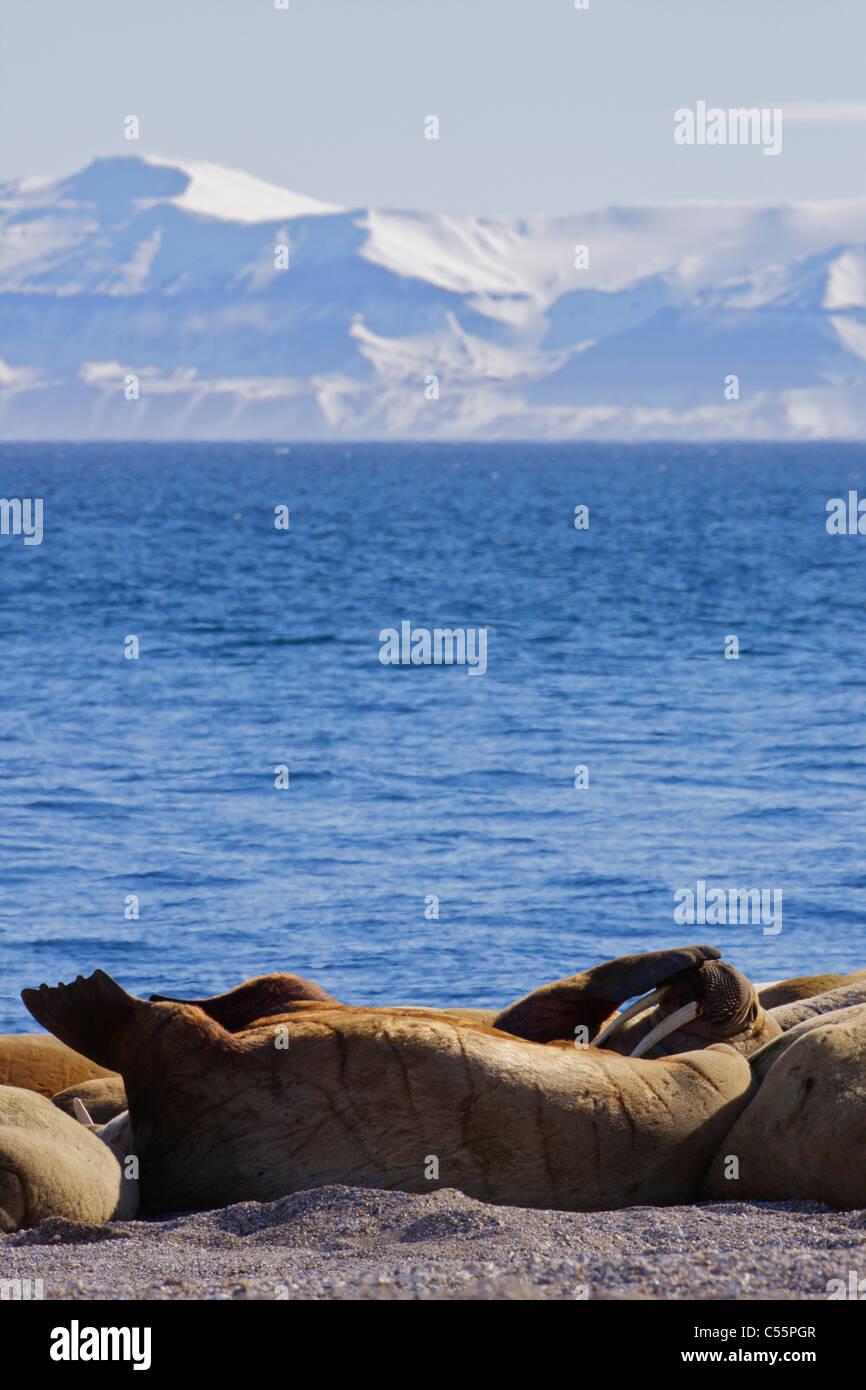 Herd of walrus (Odobenus rosmarus) basking on the coast, Svalbard Islands, Norway Stock Photo