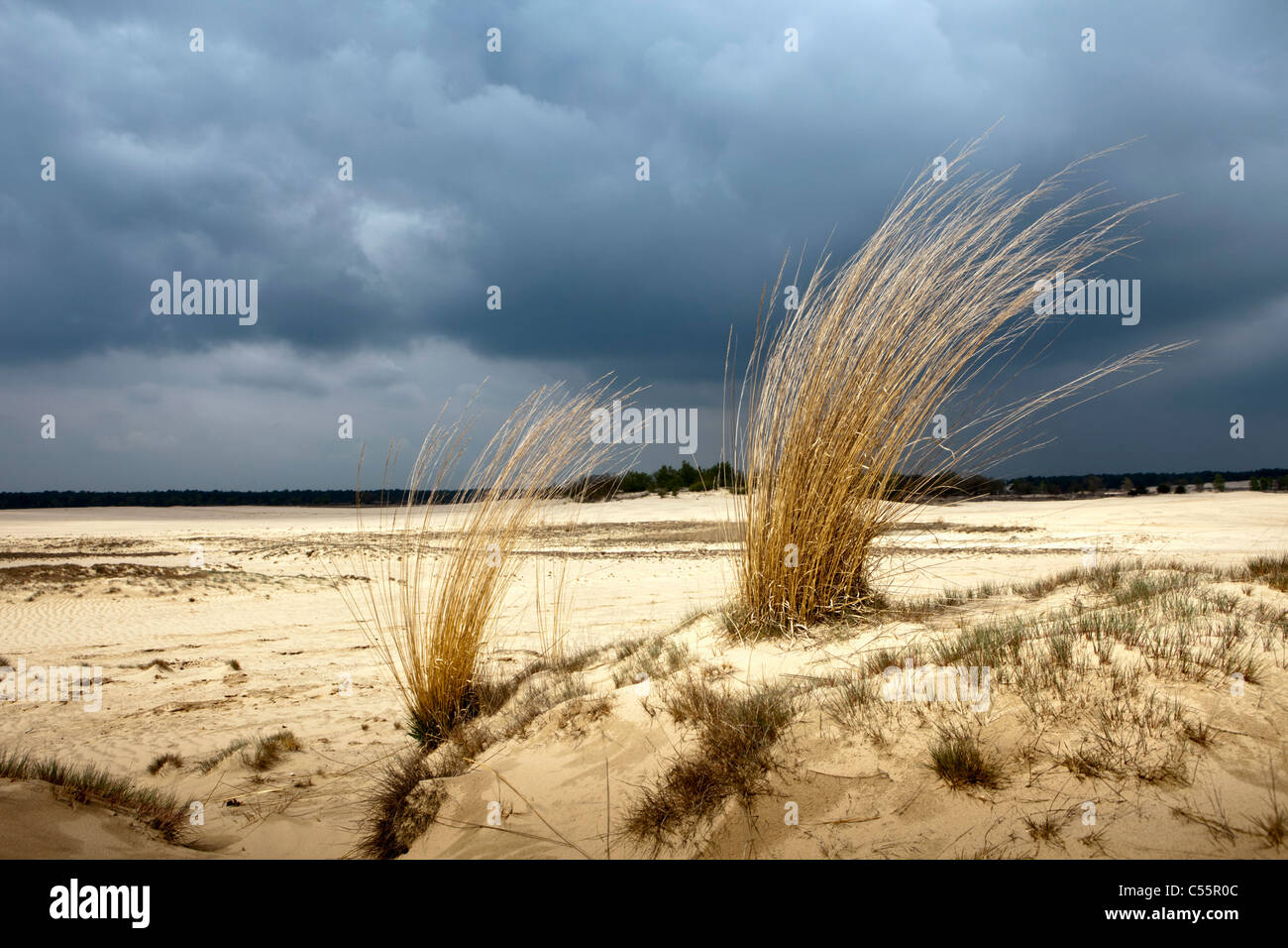 The Netherlands, Loon op Zand, National Park De Loonse en Drunense Duinen. Sand landscape and long grass. - Stock Image