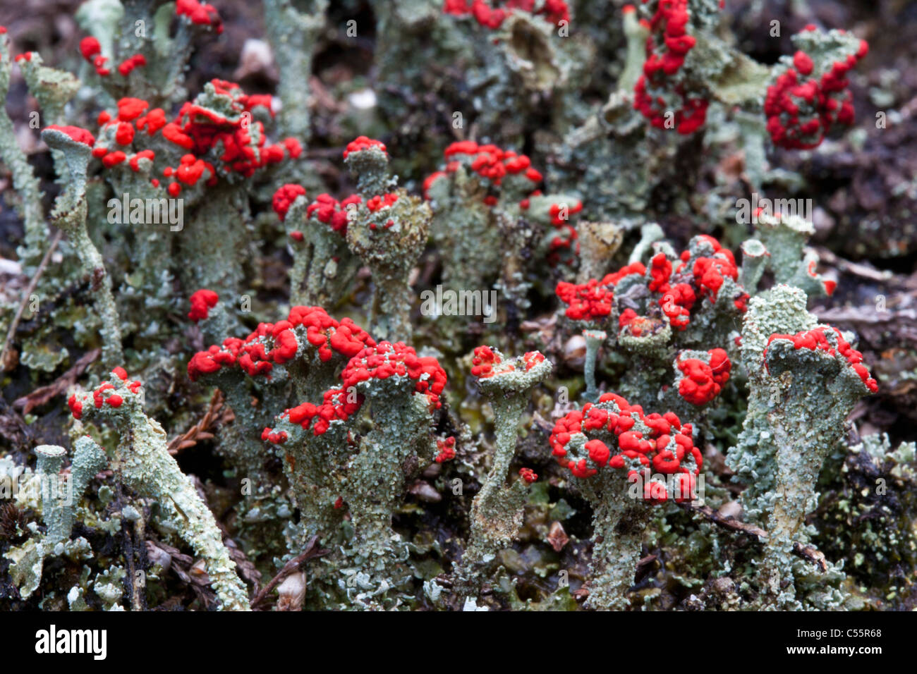 The Netherlands, Loon op Zand, National Park De Loonse en Drunense Duinen. Typical plants. - Stock Image