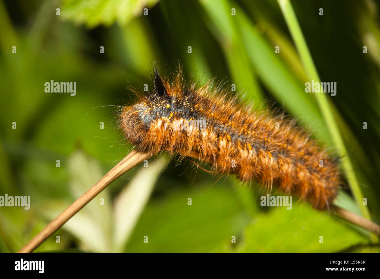 The Netherlands, Loon op Zand, National Park De Brand. Catterpillar. - Stock Image